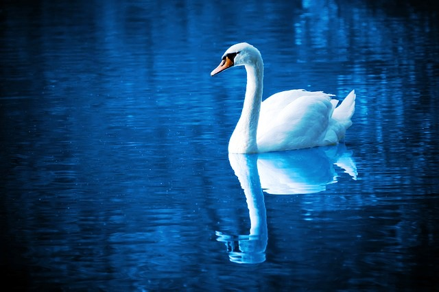 Will You Have Seven Swans a Swimming this Christmas ?